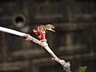 ニワナナカマドの芽吹き