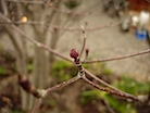 ヤマボウシの花芽