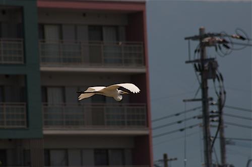 マンションと白鷺